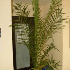 Curmal / Finic (palmier) - Palmieri