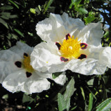 Seminte rare de Cistus ladanifer - anti imbatranire -5 seminte pt semanat