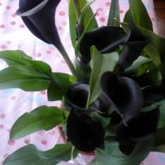 Calla neagra (inflorita) - Crini