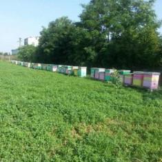 100 familii de albine pe 12 rame, 400 ron fara lada, cu lada 600 ron/negociabil. - Apicultura