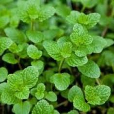 Mentha Strawberry – menta cu aroma de capsuni