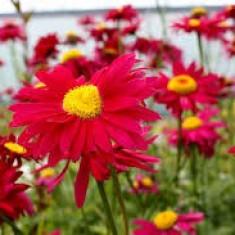 Tanacetum Robinsons Red – Margarete rosii