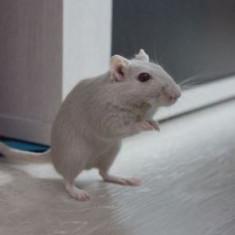 Adoptie pui de gerbil - Hamster