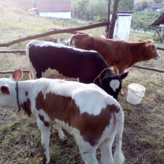 Vand vitei - Bovine