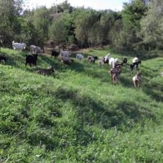 Capre de vanzare - Oi/capre