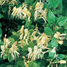 Lonicera japonica Halliana - Mana Maicii Domnului, Caprifoi