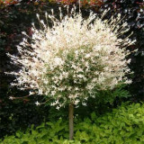 Salix integra 'Hakuro-nishiki' - Salcie japoneza