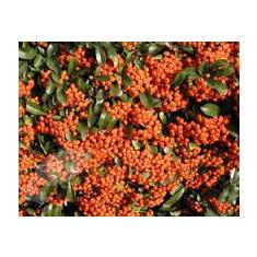 Pyracantha 'Orange Glow' – Piracanta portocalie