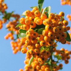 Pyracantha Golden Charmer – piracanta galbena