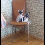 Pui rasa Chihuahua - Caini