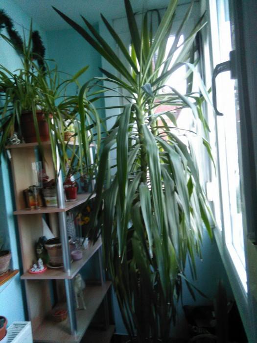 Planta Yucca foto mare