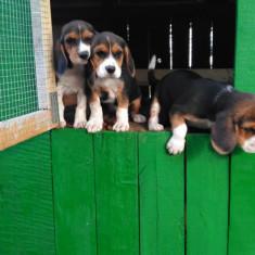 Femele beagle - Caini