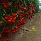 Seminte tomate Menhir F1 - 500 seminte - Seminte rosii