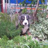 Pui Marele Câine de Munte Elvețian - Greater Swiss Mountain Dog - Caini