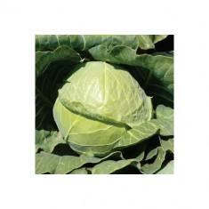 Seminte varza alba GREPALA F1 - pachet 2500 seminte