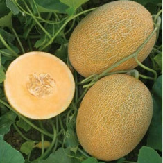 Seminte pepeni galbeni MAN 15025 F1 - pachet 500 seminte