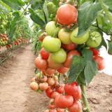 Seminte de tomate semideterminate MAGNUS F1 - pachet 500 - Seminte rosii