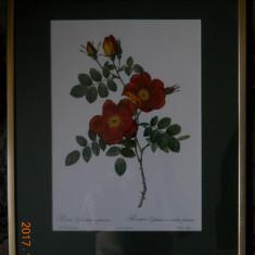 Lot 3 gravuri trandafiri, autor P.J.Redoute,40x30cm.,paspartu/rama/geam