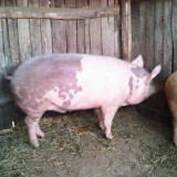Vand porci de carne
