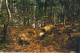 CP HD048 Parcul National Retezat - Faget din Valea Zlatuii - Diorama