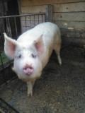 Porc d