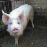 Porc d - Porci