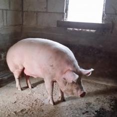 Porc de rasa pentru carne Teleorman - Porci