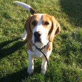 Super beagle, mascul, rasa pura, iubitor de copii - Caini