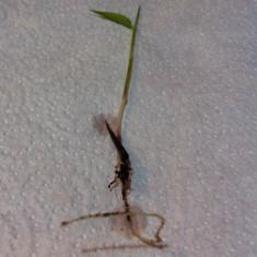 Seminte rare de Moso Bamboo 15 seminte