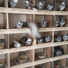 Vand porumbei vargati urgent!