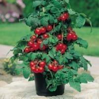 Seminte rosii de ghiveci foto