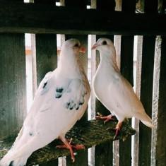Inchiriez porumbei voiajori -Albi