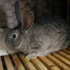 Vand iepuri!