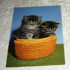 Cp animale pisici motanei in cos FRANTA - 2+1 gratis - RBK24334