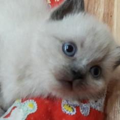 British Shorthair Colour point - Pisica de vanzare
