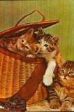 Romania - Carte postala circ. - Animale - Pui de pisica (rasa Dragon Li )