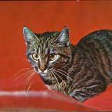 Romania - Carte postala circ. - Animale - Pisica europeana cu par scurt