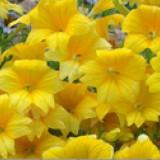 Salpiglossissinuata 20 seminte flori