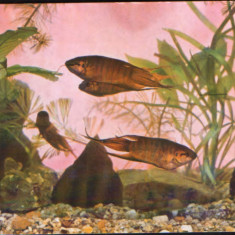 Carte postala necirc - Acvariu Constanta - Pesti, macropodus opercularis - Carte Postala Dobrogea dupa 1918, Necirculata, Fotografie