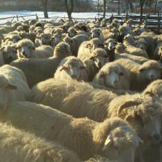Oi turcane si tigai - Oi/capre