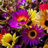 Seminte rare de Mesembryanthemum magic carpet - 5 seminte pt semanat