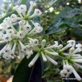 Seminte rare de Cestrum nocturnum- parfumul noptii - 3 seminte pt semanat