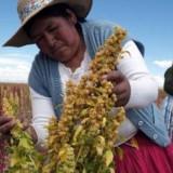 Seminte rare de quinoa peruana comestibila - 10 seminte pentru semanat