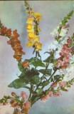 Carte postala Romania,necirculata - Flori - Gura leului, Fotografie