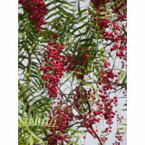 Seminte rare de Piper rosu comestibil - 5 seminte pt semanat