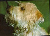 CP Romania necirculata -  Animale - Caine din rasa Yorkshire terrier, Fotografie