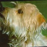 CP Romania necirculata - Animale - Caine din rasa Yorkshire terrier - Carte postala tematica, Fotografie