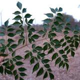 Seminte rare de Melia azedarach - medicinal si ornamental- 1 samanta pt semanat