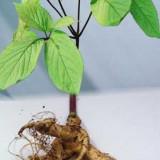 Seminte rare de Panax Ginseng - 2 seminte pt semanat-