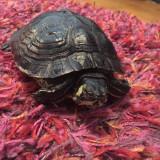 Broască țestoasă cu tâmple galbene